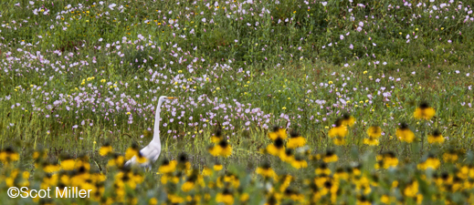 Fine photographic print of Egret and wildflowers in Dallas Gret Trinity Forest by Scot Miller, at Sun to Moon Gallery, Dallas, TX