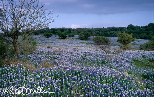 Texas Hill Country bluebonnets by Scot Miller, Sun to Moon Gallery